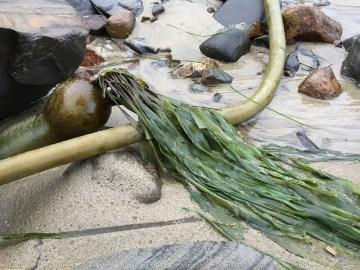 Bull kelp, Nereocystis luetkeana