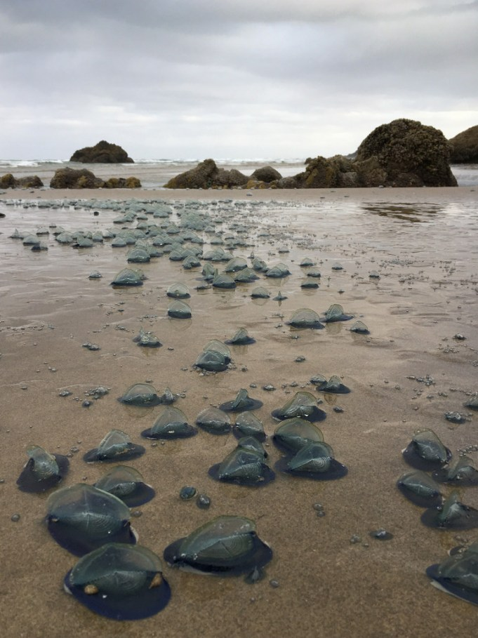 Newly beached Velella velella