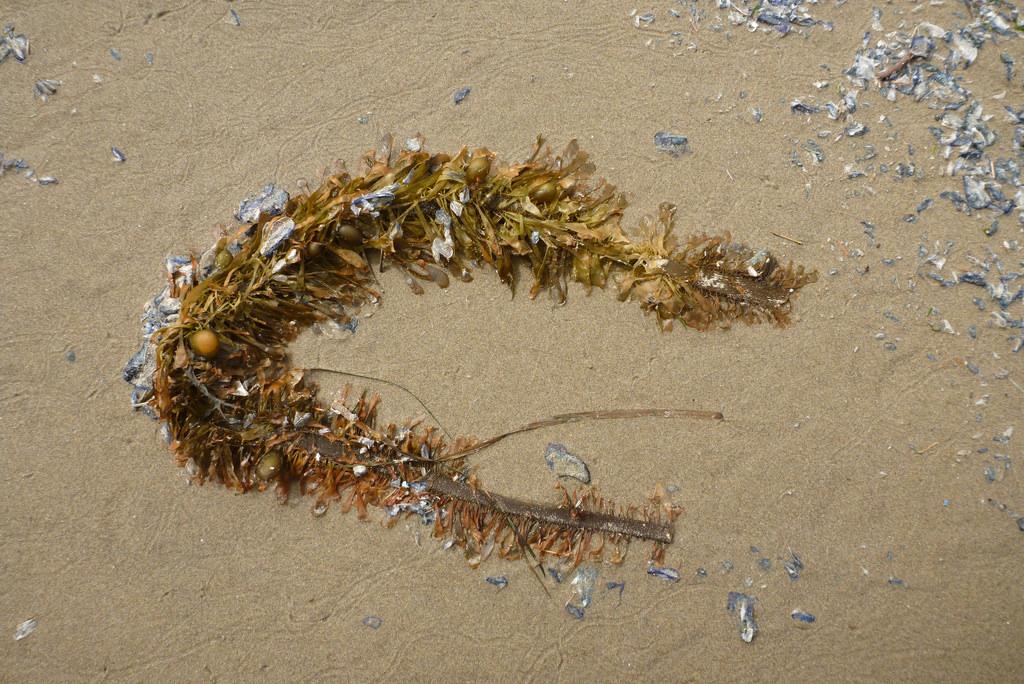 Feather boa kelp, Egregia menziesii