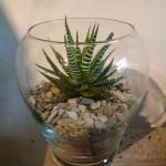 Haworthia Attenuata Zebra Plant The Palm Room
