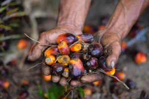 Palm Oil in Hand