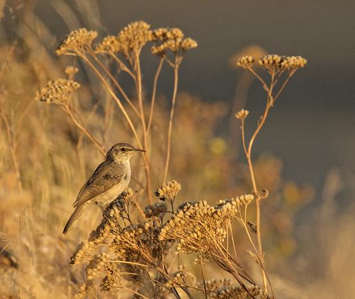 Rock Wren (salpinctes obsoletus) by Gary Hamburgh - All Rights Reserved
