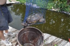 Aligator snapping turtle. Yikes! I have no idea how it got in our yard. It got a ride in the trash can to the creek a few blocks away.
