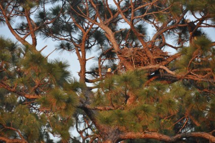Bald Eagles nesting. The adults are in the tree on either side of the nest.