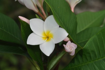 Plumeria in bloom – I wish I could capture the wonderful smell in the photo
