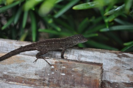 these little lizards are everywhere in FL