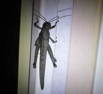 116a The day ended with an outing to the movies, and this very large grasshopper was on the doorjamb when we returned.