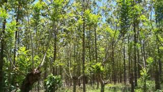 A beautiful teak forest.