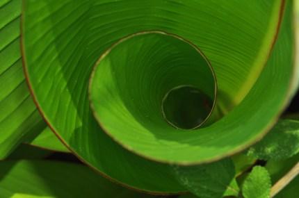A new banana leaf unfurls