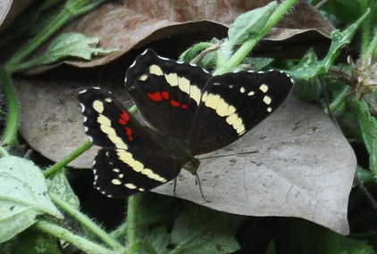 A beautiful black butterfly visited our yard today