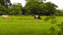 We passed some cows in fields. This big guy wasn't very far from the resort.