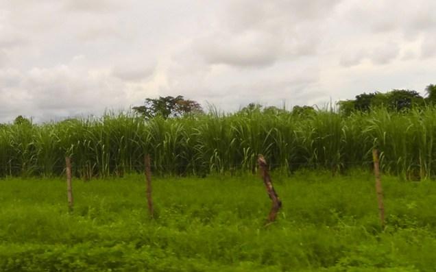 We also passed quite a few sugar cane fields.