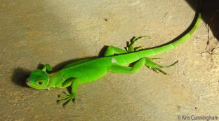 Summer is beginning and the baby iguanas are out and about. This one must have recently shed its skin because there were a few flakes still clinging. This iguana was in the carport, but the other day one wandered into the house and Joel had to chase him out.