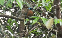 The blue-crowned motmots also visit frequently.