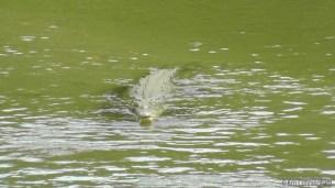 The crocodiles were in the river again.