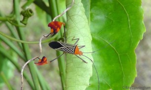 I went to photograph a flower on the passion vine outside our cabana, and found these really interesting bugs.