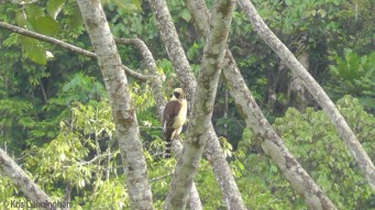 A laughing falcon perched in a tree for a while.