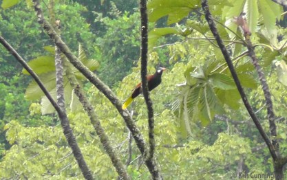 A Montezuma Oropendola, one of many we saw in the area. We have the Crested Oropendolas in our neighborhood, so it was interesting to see this beautiful and different variety here.