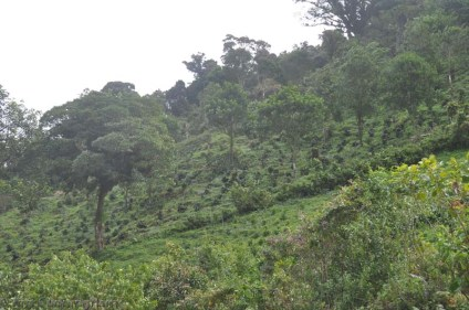 There were many coffee plants on the hills above the resort.