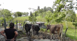 Milking is done for the afternoon, so the cows are starting to make their way back to their pasture.