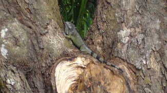 An iguana climbs a mango tree. They are surprisingly fast so I was lucky to catch this one with my camera.