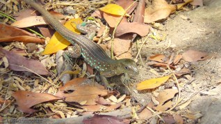 Oops, yet another lizard. My searching leads me to believe these are Aruban Whiptails.