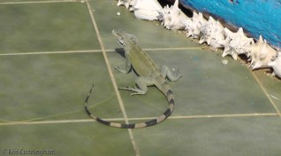 This iguana was right in front of a restaurant, and not very shy.
