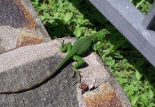 I came across this little iguana on the path.