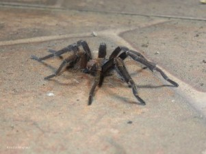 Joel found this large spider when he was sweeping the floor.
