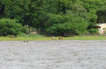 As we get close to the island I saw these horses at the edge of the water.