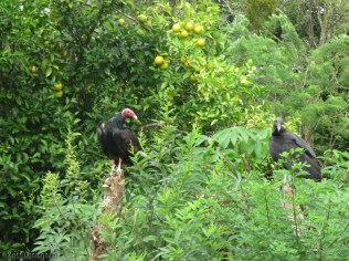 A turkey vulture (red head) and a black vulture on the fence posts.