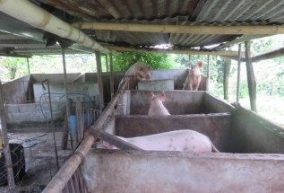 The pigs were very excited to see us, thinking we might be bringing lunch. It was health check time though, and Cedo is afraid they have some parasites because their eyes don't look right and they are losing hair from their skin on their hips.