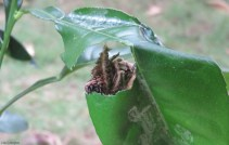 Then, I found it eating a leaf, or rather the creature in the cocoon was poking out its head and munching on a leaf.