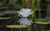 I had a couple water lily ponds on our Florida back yard. I loved them for the beautiful flowers and plants, and all the wildlife they attracted. I never got tired of photographing the water lilies!
