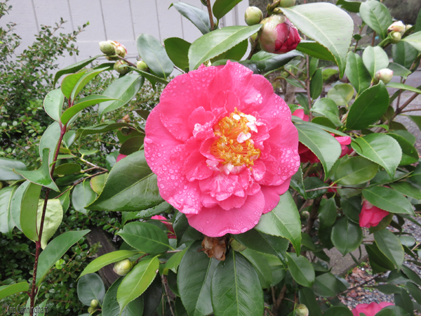 I am not familiar with camellias, but what a gorgeous flower! The other grandparents have recently bought a house and this beauty is growing in their yard.