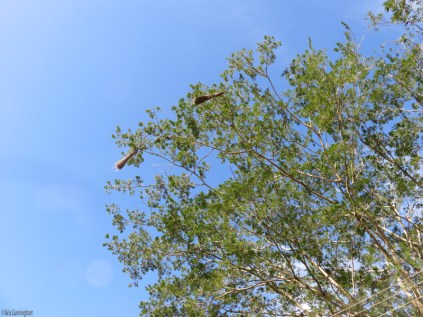 The oropendolas have made some nests in a tree in our neighborhood park. The other day I noticed that one of them was missing, one was swinging free, and the third was hung up on an neighboring branch (no worries, it had righted itself today). I can only imagine being in those nests as they swing wildly in the strong winds!