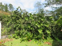 Then, there was an even bigger surprise. I came home to find our big guaba tree had fallen down, partly into our yard and partly into the street.