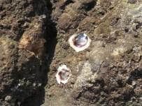 There are oysters on the rocks. It is easiest to pry off the top shell and get the meat, and leave the bottom shell behind where it is embedded in the rock.