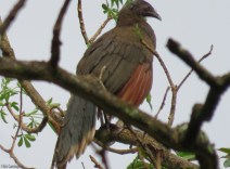 A wet paisano was also perched in the tree.