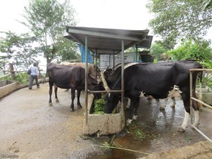 Lunch time for cows.