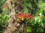 One of many bromeliads in the trees.