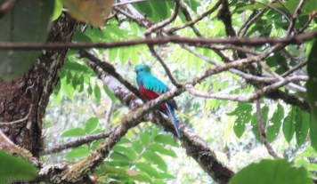 And then, another tour guide pointing out another resplendent quetzal! This one was back in the trees a bit and I had to make full use of my zoom, but you can see the bright blue and red colors.