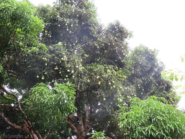 This is a very large tree and it has tons of mangoes. They are also yellow, sweet, but a bit softer inside, maybe because of the distance they have to fall but they are also very good.