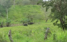 Water buffalo!