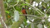 Here is Mrs. crimson-backed tanager