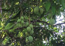 Some of the early fruiting mangoes have fruit that is getting quite large