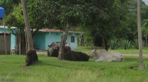 These huge bulls were lounging on a corner in Guaramal