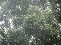 I looked up and saw these strange fruit things above. I don't know what kind of tree this is or what they are.