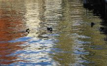 ducks swimming in the reflections