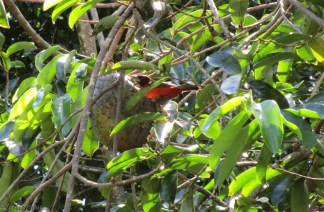 A female crimson backed tanager is perched on the fruit